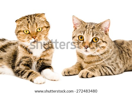 Portrait of cats Scottish Fold and Scottish Straight lying together isolated on white background - stock photo