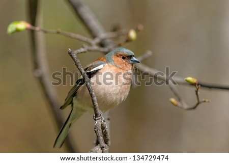 portrait of chaffinch on a branch of spring tree - stock photo
