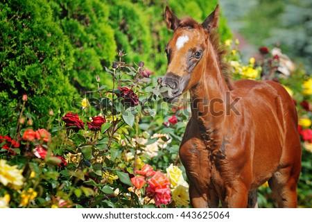Portrait of  chestnut foal - stock photo