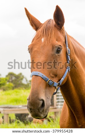 Portrait of chestnut horse with blue halter with chicken coop in the background