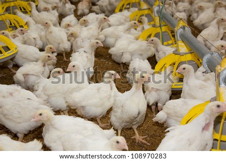 Portrait of chicken broilers. Poultry farm