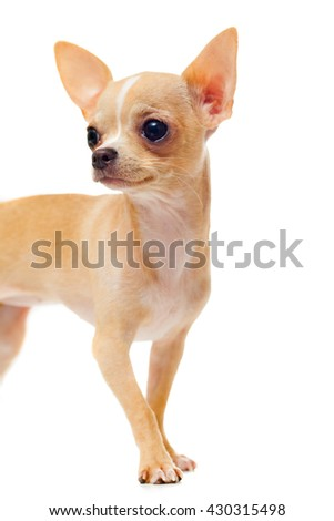 portrait of Chihuahua puppy, isolated on white background