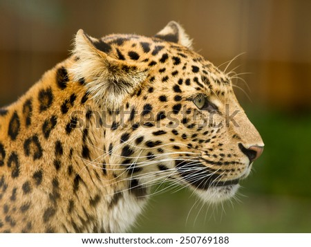 portrait of china leopard - stock photo