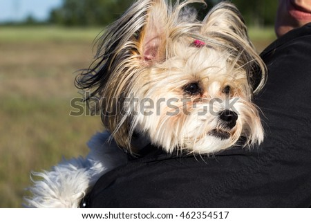 Portrait of chinese crested dog hold in arms outside in the summer meadow