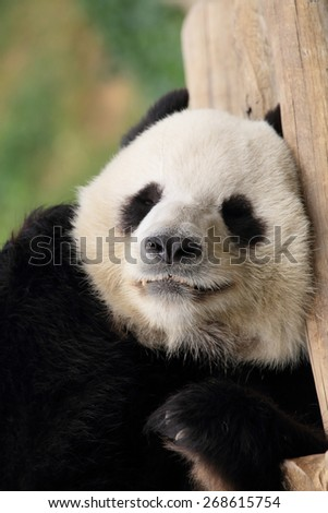 portrait of Chinese panda, Hong Kong - stock photo