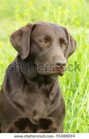 Portrait of chocolate labrador retriever - stock photo