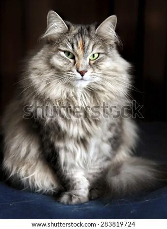Portrait of Cleopatra.  Siberian female cat. She's posing like a ballet dancer.  - stock photo