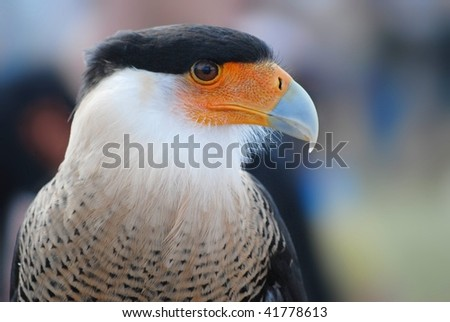 portrait of colorful bird of prey, a crested caracara