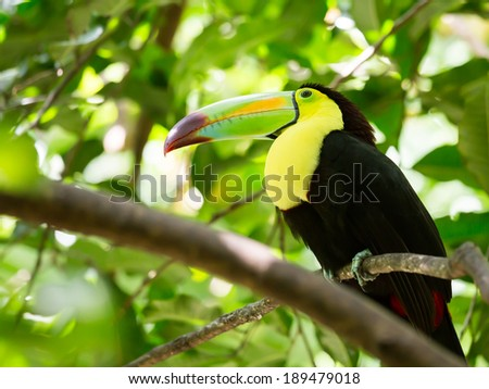 Portrait of colorful Keel-billed Toucan bird in Mexico - stock photo