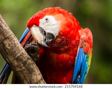 Portrait of colorful Scarlet Macaw parrot in Mexico - stock photo