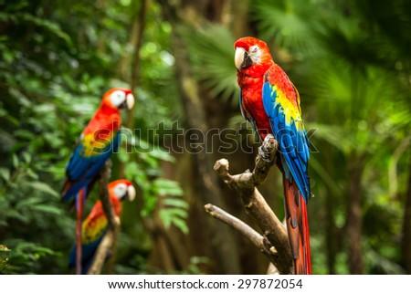 Portrait of colorful Scarlet Macaw parrots  - stock photo