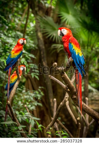 Portrait of colorful scarlet macaw parrots somewhere in Mexico - stock photo