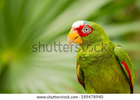Portrait of colorful White-fronted Parrot in Mexico - stock photo