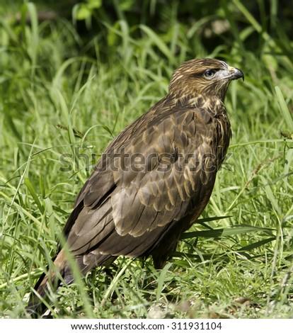 portrait of common buzzard / Buteo buteo - stock photo