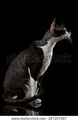 Portrait of Cornish Rex in Profile Isolated on Black Background