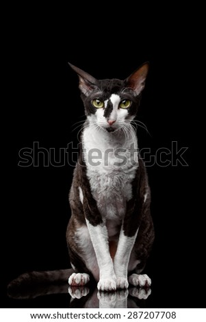 Portrait of Cornish Rex Sits and Looking in Camera Isolated on Black  - stock photo