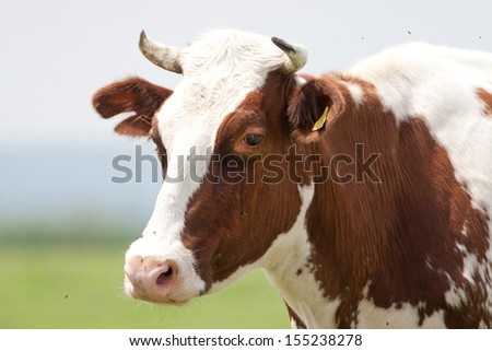 Portrait of cow with antlers on meadow - stock photo
