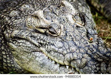 Portrait of Crocodylus niloticus commonly known as Nile or Common crocodile