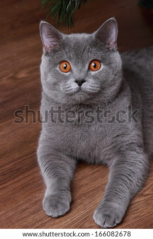 portrait of curious gray british cat over wooden background - stock photo