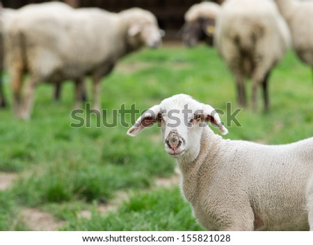 Portrait of curious sheep - stock photo
