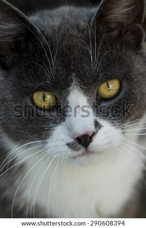 Portrait of cute fluffy grey white cat with yellow eyes looking forward, vertical picture - stock photo