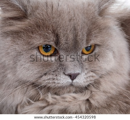 portrait of cute gray Scottish long-haired straight cat on a white  background - stock photo