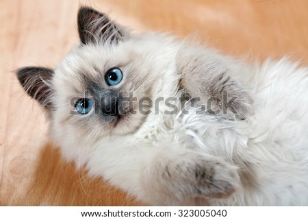 Portrait of cute kitten on parquet at home - stock photo