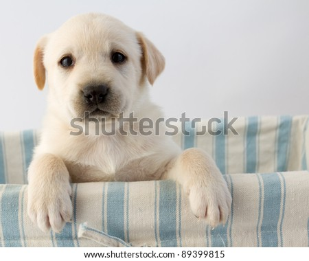 Portrait of cute labrador puppy - stock photo