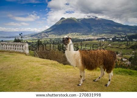 Portrait of cute llama. Imbabura volcano and San Pablo lake in the background, Ecuador - stock photo