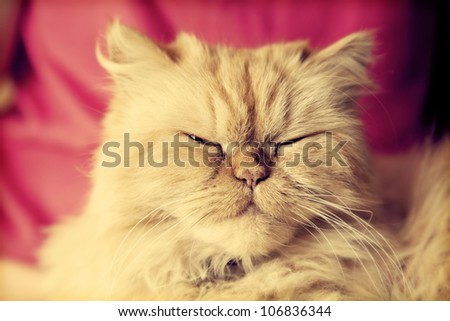 Portrait of cute Persian cat looking at the camera with relaxed, sleepy eyes - stock photo