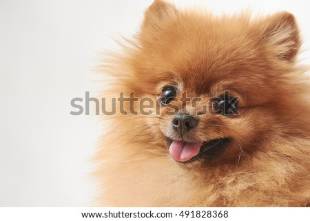 portrait of cute pomeranian dog