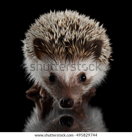 Portrait of Cute Prickly Hedgehog, front view, isolated on Black Background with Reflection