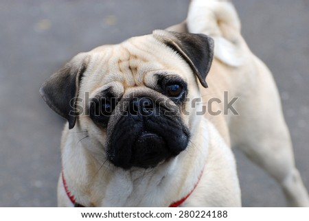 portrait of cute pug dog on gray background - stock photo