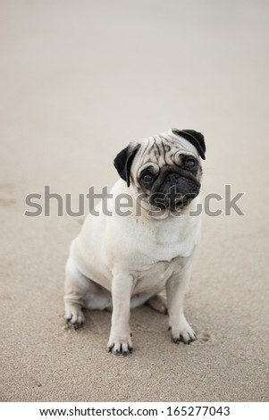 Portrait of cute pug sitting on beach