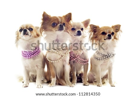 portrait of cute purebred chihuahuas with pearl collar in front of white background - stock photo