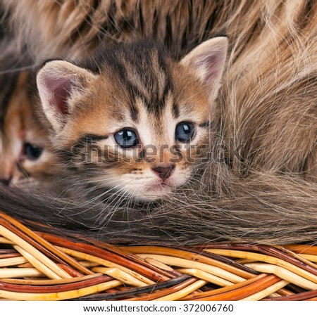Portrait of cute siberian kitten with sad eyes over fur background - stock photo
