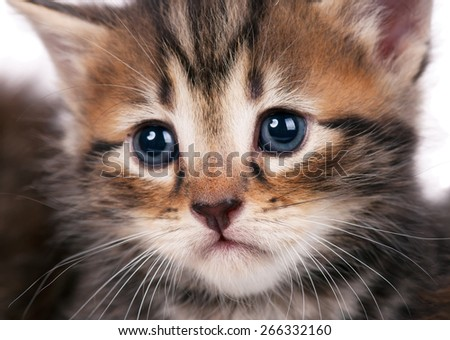 Portrait of cute siberian kitten with sad eyes over white background close-up - stock photo