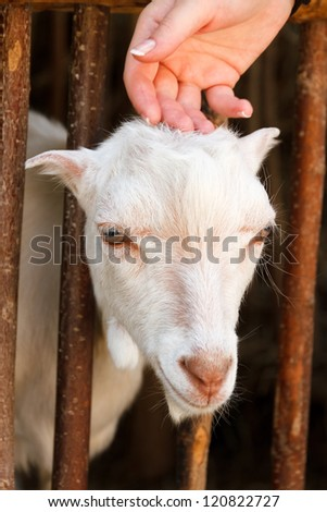Portrait of cute small goat