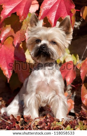 Portrait of cute Yorkshire terrier on autumn background