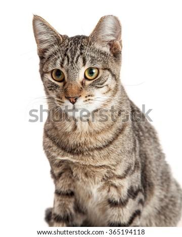 bambino kittens for sale uk