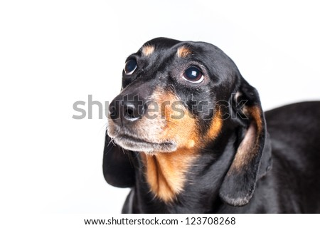 Portrait of Dachshund on white background - stock photo
