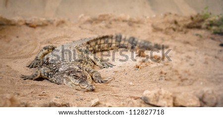 Portrait of dangerous crocodile lying on a brown sand - stock photo