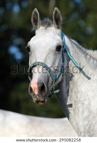 Portrait of dapple gray mare seen against a nature background - stock photo