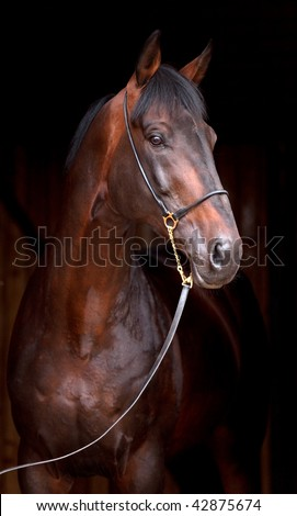 Portrait of dark bay horse, isolated on black background. - stock photo