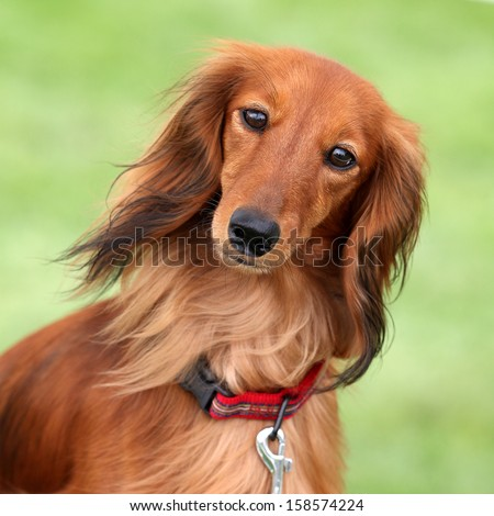 Dachshund standard long-haired red Stock Photos, Images, & Pictures ...
