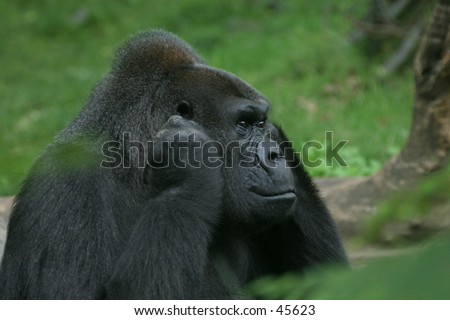 Portrait of disturbed gorilla holding its ears