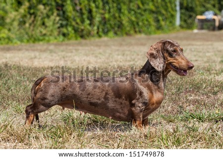 Portrait of  dog breed  dachshund - stock photo