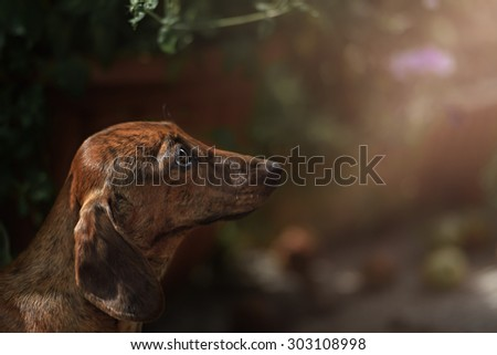 Portrait of dog breed short haired dachshund
