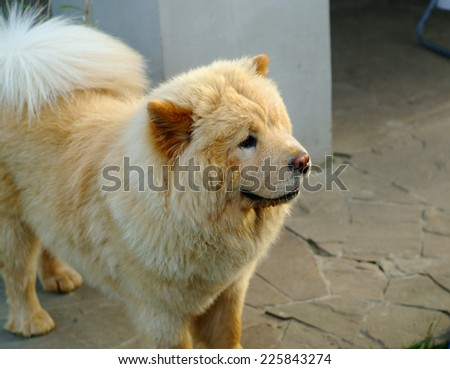 portrait of dog chow-chow on natural background - stock photo