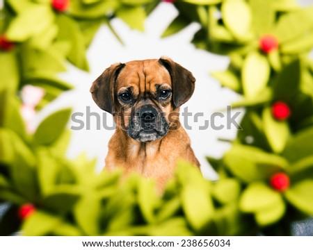 Portrait of Dog Through Christmas Wreath - stock photo